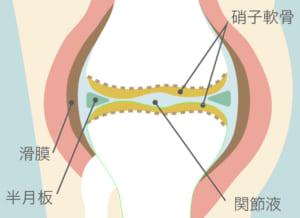膝関節とヒアルロン酸の関係