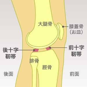 膝の十字靭帯の図説