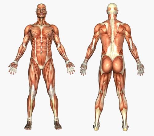 変形性膝関節症には筋肉量が関係