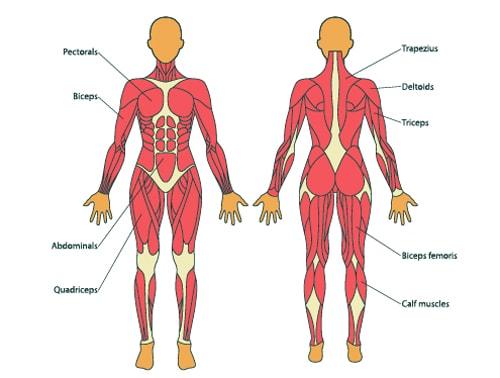 女性の筋肉量