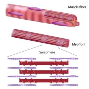 筋肉の筋節