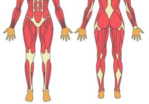 変形性膝関節症と筋肉の関係